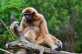 White-handed gibbon (Hylobates lar) Royalty Free Stock Photography