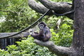 White-handed Gibbon,Hylobates lar Royalty Free Stock Images