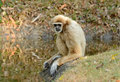 White-handed Gibbon (Hylobates lar) Stock Photo
