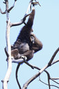 White handed gibbon hylobates lar the natural habitat of the is in the tropical rainforests Stock Photography