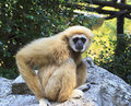 White handed gibbon hylobates lar the natural habitat of the is in the tropical rainforests Royalty Free Stock Photos