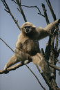 White handed gibbon hylobates lar single mammal in tree captive Royalty Free Stock Photos