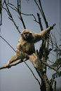 White handed gibbon hylobates lar single mammal in tree captive Stock Photography