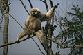 White handed gibbon hylobates lar single mammal in tree captive Royalty Free Stock Photo