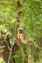 White-handed gibbon(Hylobates lar) swing Royalty Free Stock Photo