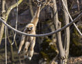 White Handed Gibbon Royalty Free Stock Photo