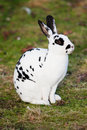 White hare with black Royalty Free Stock Photo