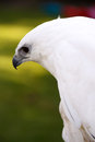 White hawk the pseudastur albicollis a bird of prey breeding in the tropical new world belongs to the family accipitridae of the Royalty Free Stock Photos
