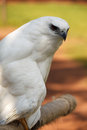 White hawk the pseudastur albicollis a bird of prey breeding in the tropical new world belongs to the family accipitridae of the Stock Photos