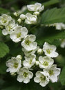 White hawthorn flowers Stock Photography