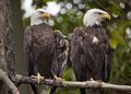 White Head Bald Eagles in Tree Washington Royalty Free Stock Photo