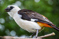 White-Headed Buffalo Weaver Bird Royalty Free Stock Photo