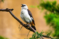 White headed buffalo weaver the or faced dinemellia dinemelli is a species of passerine bird in the family Stock Photo