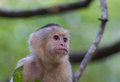 White headed capuchin the cebus capucinus also known as the faced or throated is a new world monkey Royalty Free Stock Photos