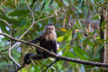 White headed capuchin monkey the also called faced or throated is a new world native to Royalty Free Stock Photo