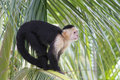 White-headed Capuchin Monkey Sitting in a Palm Tree Royalty Free Stock Photo