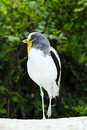 White headed lapwing Royalty Free Stock Photos