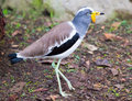 White Headed Lapwing Royalty Free Stock Photography