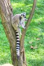 White headed lemur with long tail sitting on the tree Stock Photography