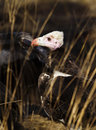 White-headed vulture, Botswana Royalty Free Stock Photography