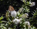White Hebe Flower With A Meadow Brown Butterfly