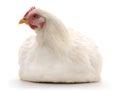 White hen. Royalty Free Stock Photo