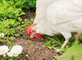 The white hen pecks grain Royalty Free Stock Image