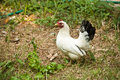 White hen single in farm Stock Images
