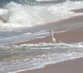 White heron on beach Stock Image