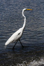 White heron in beach photography of a Stock Photo