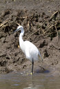 White heron bird in kenya africa on black soil Stock Photography
