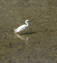 White heron bird in the water kamo river kyoto japan Royalty Free Stock Photos