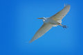 White heron blue sky a large flying alone in a bright Stock Photo