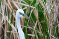White heron in grass hiding iin Stock Photography