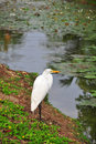 White heron on the lake Stock Photos