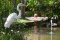 White heron near water, Dominican Republic Royalty Free Stock Photo