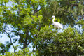 White heron in tree Stock Image