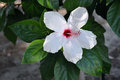 White hibiscus Flower Stock Photos