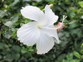 White hibiscus flower blooming in the garden white flower in the background blurred blossom is Royalty Free Stock Images