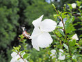 White hibiscus flower blooming in the garden white flower in the background blurred blossom is Stock Photo