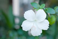 White Hibiscus Flower, Isolate...