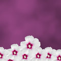White hibiscus flowers, Hibiscus rosa-sinensis, hibiscus chinese, known as rose mallow, mauve texture background, close up. Royalty Free Stock Photo