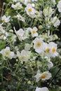 White Honorine Jobert Japanese Anemone Flowers And Buds