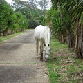 White horse in driveway Australian countryside Royalty Free Stock Photo