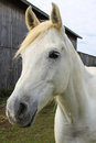White Horse Beside Barn Royalty Free Stock Photos