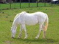 White horse a beautiful on a green field Stock Photography
