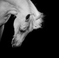 White horse on a black looking down Royalty Free Stock Photo