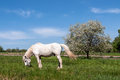 White horse on a blue sky and apple tree in spring grazing the green lawn near with blossoms Royalty Free Stock Photography