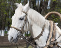 White horse bridle portrait of with and harness closeup Stock Photos