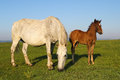 White Horse And Brown Foal Gra...